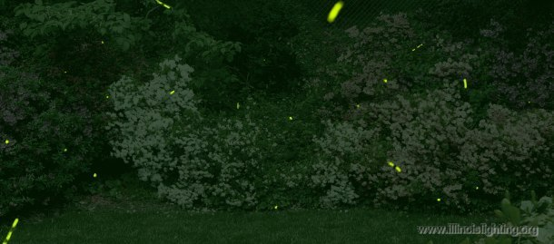 Are fireflies affected by light pollution?